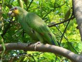 Orange-winged Amazon (Amazona amazonica) ©WikiC