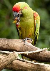 Red-fronted Macaw (Ara rubrogenys) ©WikiC