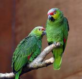 Red-lored Amazon (Amazona autumnalis lilacina) ©WikiC