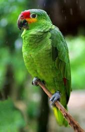 Red-lored Amazon (Amazona autumnalis) ©WikiC