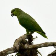 Scaly-naped Amazon (Amazona mercenarius)