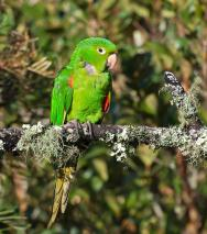 White-eyed Parakeet (Aratinga leucophthalma) by Dario Sanches