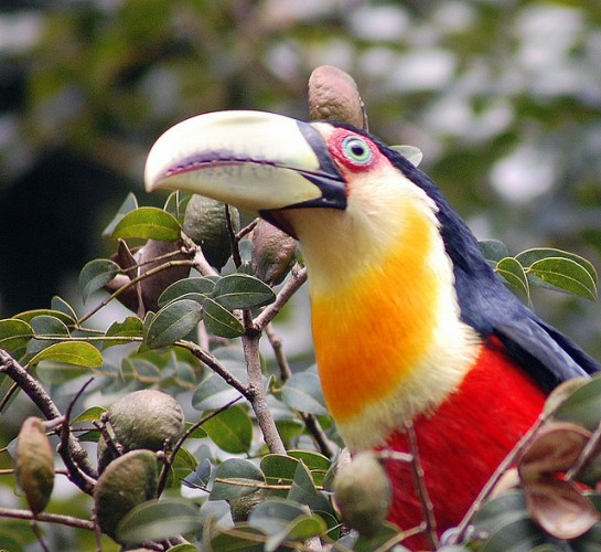 Green-billed Toucan (Ramphastos dicolorus) by Dario Sanches