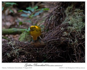 Golden Bowerbird (Prionodura newtoniana) at bower by Ian