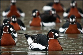 Red-breasted Goose (Branta ruficollis) ©©Maxfear