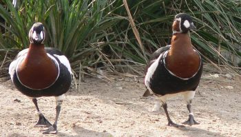 Red-breasted Goose (Branta ruficollis) ©WikiC