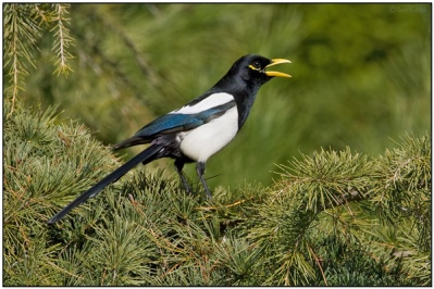 Yellow-billed Magpie (Pica nuttalli) by Daves BirdingPix