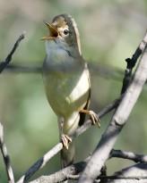 Marsh Warbler (Acrocephalus palustris) WikiC