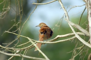 Brown Thrasher (Toxostoma rufum) By Dan'sPix