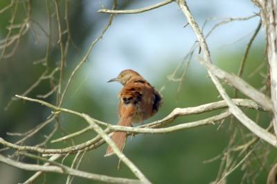 Brown Thrasher (Toxostoma rufum) By Dan'sPix