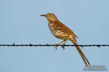 Brown Thrasher (Toxostoma rufum) by Judd Patterson