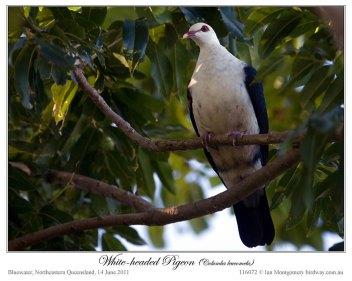 White-headed Pigeon (Columba leucomela) by Ian