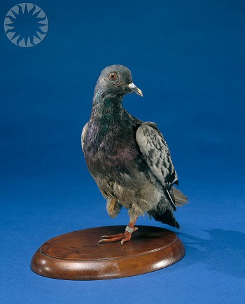 Cher Ami - WWI Homing Pigeon Hero