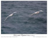 Red-billed Tropicbird by Ian Montgomery