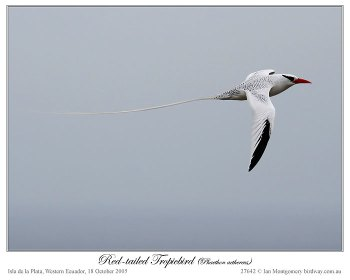 Red-billed Tropicbird (Phaethon aethereus) by Ian Montgomery