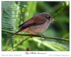 Tiger Shrike (Lanius tigrinus) by Ian
