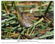 Little Grassbird (Megalurus gramineus) by Ian