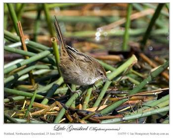 Little Grassbird (Megalurus gramineus) by Ian