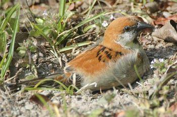 Russet Sparrow (Passer rutilans) by Nikhil Devasar
