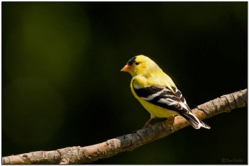 American Goldfinch (Carduelis tristis) by Daves BirdingPix