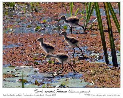 Comb-crested Jacana (Irediparra gallinacea) by Ian