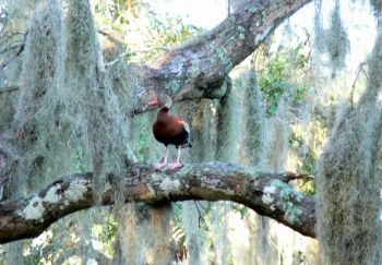 Black-bellied Whistling Duck in Tree at Circle B by Lee
