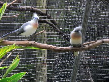 Crested Coua (Coua cristata) Pair by Lee LPZ