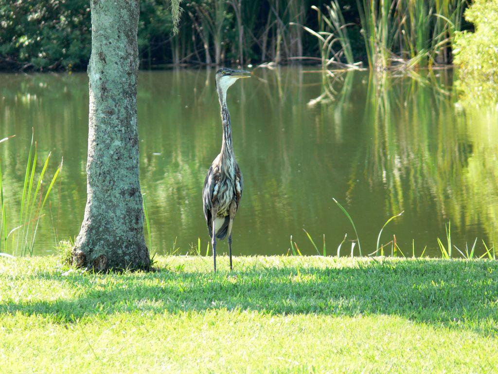 Great Blue Heron Juvenile at Saddle Creek by Lee