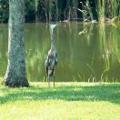 Great Blue Heron Juvenile at Saddle Creek by Lee