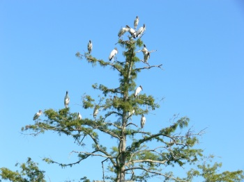 Wood Stork Tree at Circle B - 7-22-11