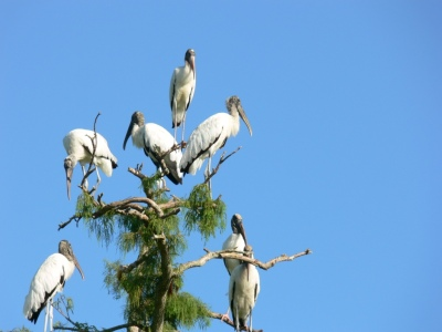 Wood Storks on top of tree at Circle B -7-22-11 by Lee