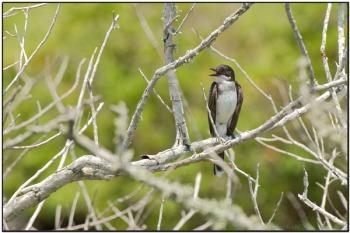 Eastern Kingbird (Tyrannus tyrannus) by Daves BirdingPix