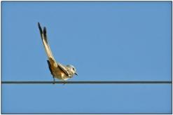 Scissor-tailed Flycatcher (Tyrannus forficatus) by Daves BirdingPix