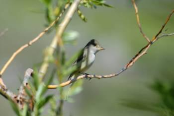 Willow Flycatcher (Empidonax traillii) ©USFWS
