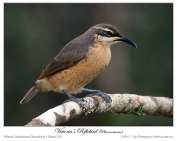 Victoria's Riflebird (Ptiloris victoriae) by Ian - female