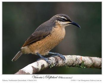Victoria's Riflebird (Ptiloris victoriae) by Ian - female