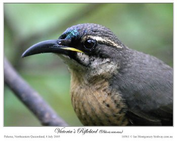 Victoria's Riflebird (Ptiloris victoriae) by Ian - young male