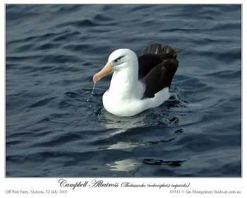 Campbell Albatross (Thalassarche impavida) by Ian