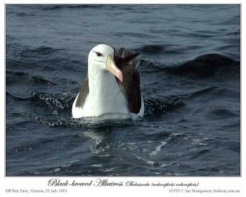 Black-browed Albatross (Thalassarche melanophris) by Ian 2