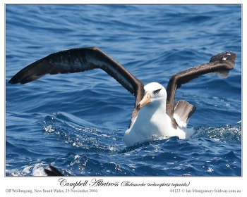 Campbell Albatross  (Thalassarche (melanophris impavida) by Ian 3
