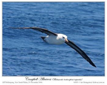 Campbell Albatross (Thalassarche (melanophris impavida) by Ian 4