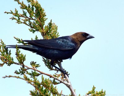 Brown-headed Cowbird (Molothrus ater) by J Fenton