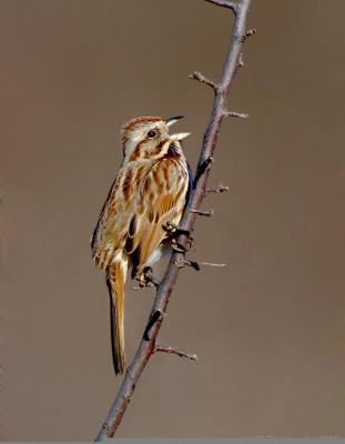 Song Sparrow (Melospiza melodia) by J Fenton