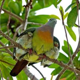 Under His Wings - (Dove - photographer unknown)