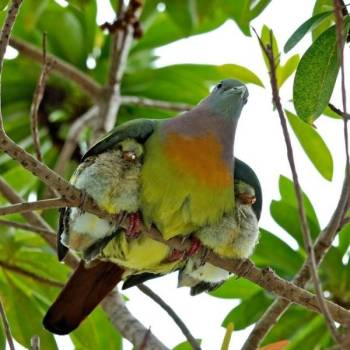 Under His Wings - ( Male Pink-necked Green Pigeon by Rik Seet)