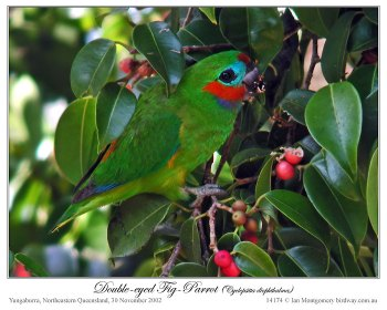 Double-eyed Fig Parrot (Cyclopsitta diophthalma macleayana) by Ian