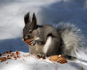 Abert's Squirrel With a Pinecone ©WikiC