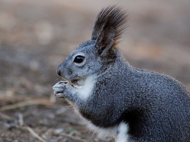 Long Eared Squirrel �squirrels give age of