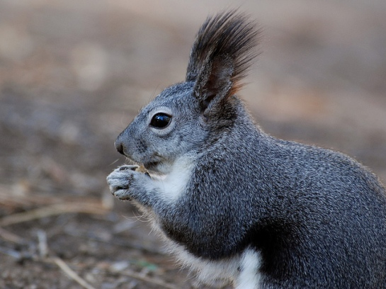 Abert's Squirrel (aka Tassel-eared) ©Bandelier Natl Momument