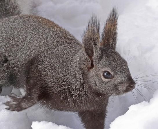 Abert's Squirrel (aka Tassel-eared) ©jerryoldenettel